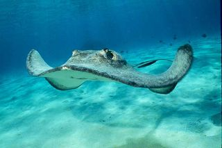 Cayman-sting-ray