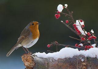 Snow-robin
