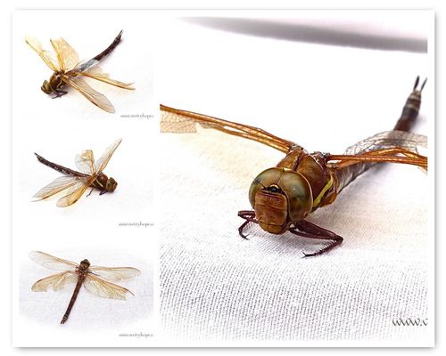Dragonfly_5